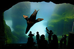 May 12, 2003 - Visitors to the Oregon Zoo in Portland, Oregon, press up to the glass as sea lions entertain with maneuvers about their  watery world.