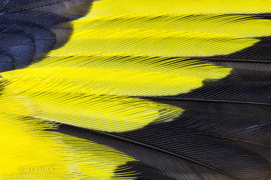 Close up of wing feathers from a Goldfinche {Carduelis carduelis}. Derbyshire, UK. Dead Speciman.