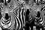 All of the black and white can be dizzying and confusing for photographers and predators alike.