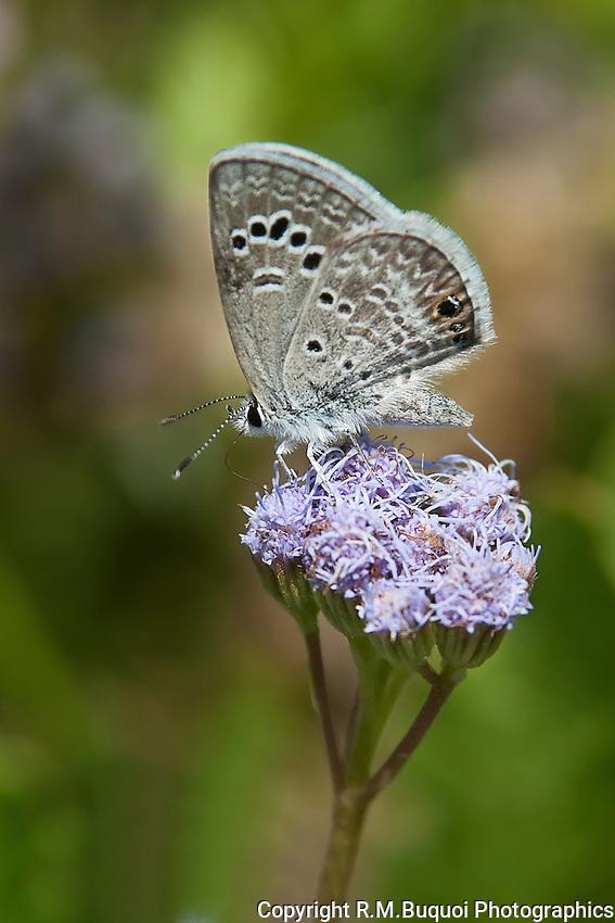 Reakirt's Blue Butterfly on Blue Mist-Flower