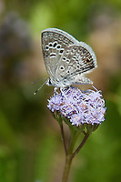 Reakirt's Blue Butterfly on Blue Mist-Flower
