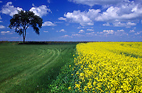 Canada, Manitoba, Field of yellow flowers under a blue sky