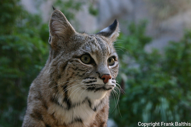bobcat, FB 361  5x7 postcard