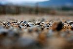 Obsidian Ridge Vineyards in the Red Hill appellation of Kelseyville, Ca.