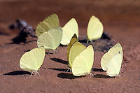 Butterflies in the jungle near Angkor Wat -  Siem Reap, Cambodia....
