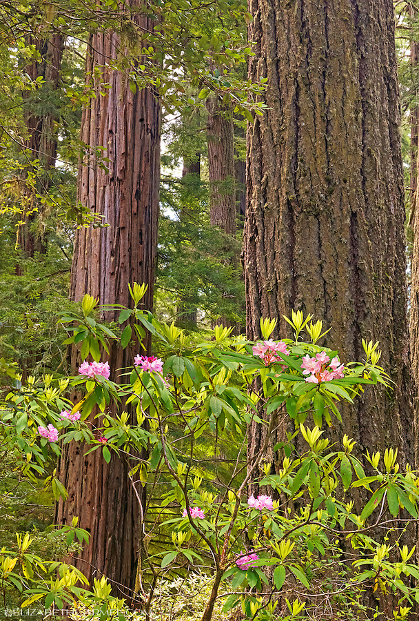 Wild Rhododendrons II