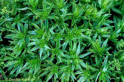 MY01-012d  Moss - gametophyte