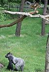Foto: VidiPhoto<br /> <br /> ARNHEM - Gorilla's en goudbuikmangabeys bekijken elkaar maandag van een afstand met de nodige argwaan. De goudbuiken vanuit een hoge positie en de gorilla's vrijwel allemaal op de grond. Maandag plaatste Burgers' Zoo in Arnhem de beide diersoorten bij elkaar, zonder dat het tot een vechtpartij kwam. Het is voor het eerst dat het Arnhemse dierenpark op deze wijze met de gorillafamilie experimenteert. In de dierentuin van M&uuml;nster zitten beide apensoorten al wel bij elkaar en ook Gaia Zoo in Kerkrade heeft een combinatie van gorilla's en een ander soort mangabeys in &eacute;&eacute;n verblijf. Het is de bedoeling dat de mensapen en goudbuiken in Arnhem de komende weken aan elkaar wennen, in de hoop dat de kleinere apensoort zich op den duur tussen de gorilla's begeeft. Om te voorkomen dat het experiment uit de hand loopt zijn overal in het buitenverblijf smalle ontsnappingsbuizen geplaatst, waar de gorilla's niet, maar de goudbuiken wel doorheen kunnen. De interactie tussen de apen moet voor beide soorten een stuk verrijking vormen.