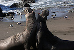 Northern Elephant Seals (Mirounga angustirostris) fighting over mating rights. A mature male (right) has mounted a challenge to the larger, dominant bull on this patch of beach.  Piedras Blancas State Marine Reserve. Near Cambria, San Luis Obispo Co., Calif.