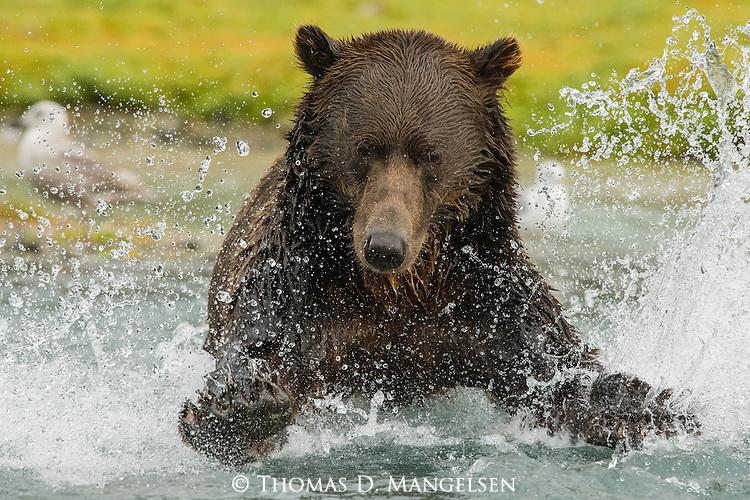 A coastal brown bear chases salmon near Geographic Harbor in Katmai National Park.