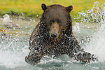A coastal brown bear chases salmon near Geographic Harbor in Katmai National Park.