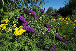 Buddleia Flowering Bush, Buddleia davidii, purple flowers, source of pollen for butterflies and bees, butterfly bush.United Kingdom....