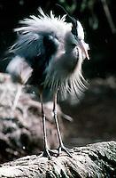 WETLAND BIRDS<br /> Great Blue Heron<br /> (Ardea herodias)