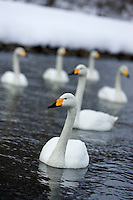 Whooper swans in the water, Hokkaido, Japan