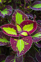 Coleus (Solenostemon) 'Saturn' annual foliage plant in yellow and red leaf colors