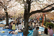 Maruyama Park during the sakura / cherry blossom season, in Kyoto, Japan on Sunday 16th April 2012.