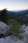 Small, twisted lodgepole pine on a cliff face overlooking Lake Tahoe in the Sierra Nevada, Eldorado National Forest, California