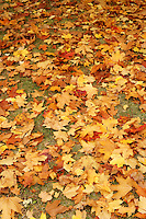 Red and gold maple leaves covering the ground, Vancouver, BC, Canada