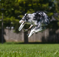 An Australian shepherd dog catches a frisbee.