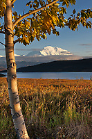 Evening light falls on the North face summit of Mt McKinley, North America's tallest mountain. Balsam poplar tree and Wonder lake in the foreground, Denali National Park, interior, Alaska.
