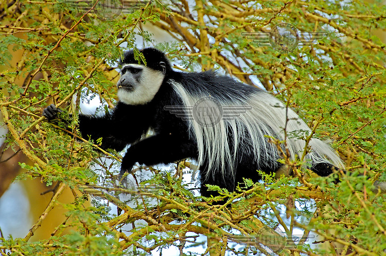 A black and white colobus monkey eating leaves from a yellow-fever acacia tree.
