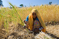 Barley crop being harvested by local agricultural worker in fields at Nimaj, Rajasthan, Northern India RESERVED USE - NOT FOR DOWNLOAD -  FOR USE CONTACT TIM GRAHAM