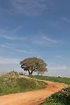 T-022 Mount Tabor Oak in Karkur