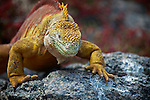 South America, Ecuador, Galapagos Islands. Land Iguana of South Plaza Island.