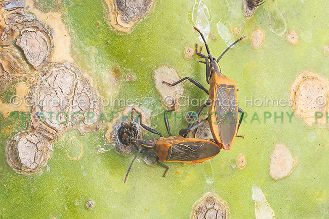 A pair of Cactus Coreid (Chelinidea vittiger) bugs mate on the leaf of a Prickly Pear Cactus (Opuntia ammophila).