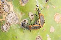 A pair of Cactus Coreid (Chelinidea vittiger) bugs mate on the leaf of a Prickly Pear Cactus (Opuntia ammophila).
