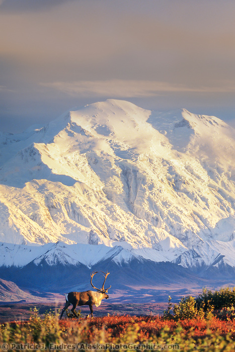 DIGITAL COMPOSITE: (Sky and clouds added ) Bull caribou walks in front of the North face of Mt. Denali, Denali National Park, Alaska.