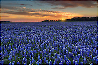 Looking to the west, this is the sun setting over bluebonnets at Turkey Bend. As Texas's most popular wildflower, bluebonnets were difficult to find in the Spring of 2014. A lack of rains left much of the central Texas area and Texas Hill Country lacking much color.