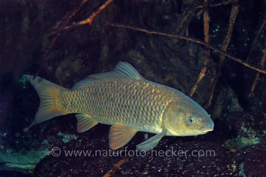 Wildkarpfen, Wild-Karpfen, Flusskarpfen, Flußkarpfen, Wildform vom Karpfen, Cyprinus carpio, common carp, European carp