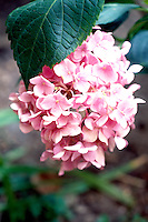 HYDRANGEA FLOWER COLOR VARIES WITH SOIL pH.Pink in soil with basic pH