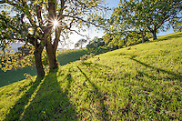 Oak trees (Quercus lobata) backlit on grassy hill on Mt. Burdell State Park, Novato, California