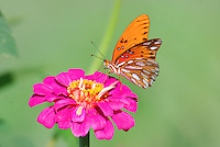 COURTESY PHOTO TERRY STANFILL<br /> PETAL PATROL<br /> A gulf fritillary lands on a wildlflower near the Eagle Watch Nature Trail at Swepco Lake near Gentry. Wildflowers and butterflies are numerous along the short trail off Arkansas 12 west of Gentry.