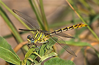334090008 a wild female russet-tipped clubtail dragonfly stylurus plagiatus perches on a plant branch at bentsen rio grande valley state park in the rio grande valley hidalgo county texas united states
