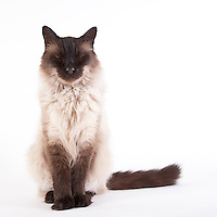 Siamese mix cat sitting with eyes closed on a white seamless background.