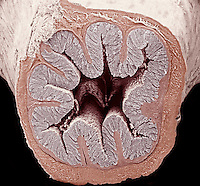 Cross-section of the mammal colon or large intestine. From the lumen outward are the mucosa, submucosa, muscularis externa, and the thin outer serosa. The highly folded layers are typical of an empty organ. SEM X60.  **On Page Credit Required**