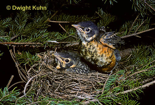 RO06-006z   American Robin - young exercising wings, ready to leave nest - Turdus migratorius