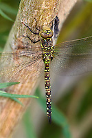 339570006 a wild female paddle-tailed darner aeschna palmata perches on a branch along an irrigation canal off jean blanc road in inyo county california united states