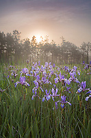 Slender Blue Flag wildflowers, Pine Barrens, New Jersey