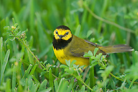 591920023 a wild male hooded warbler setophaga citrina - was wilsonia citrina - perches on a grass stem on south padre island cameron county texas united states