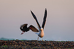 An African Black Oystercatcher attacks a Kelp Gull that has come into the oystercatchers feeding space, De Hoop Marine Protected Area, Western Cape, South Africa
