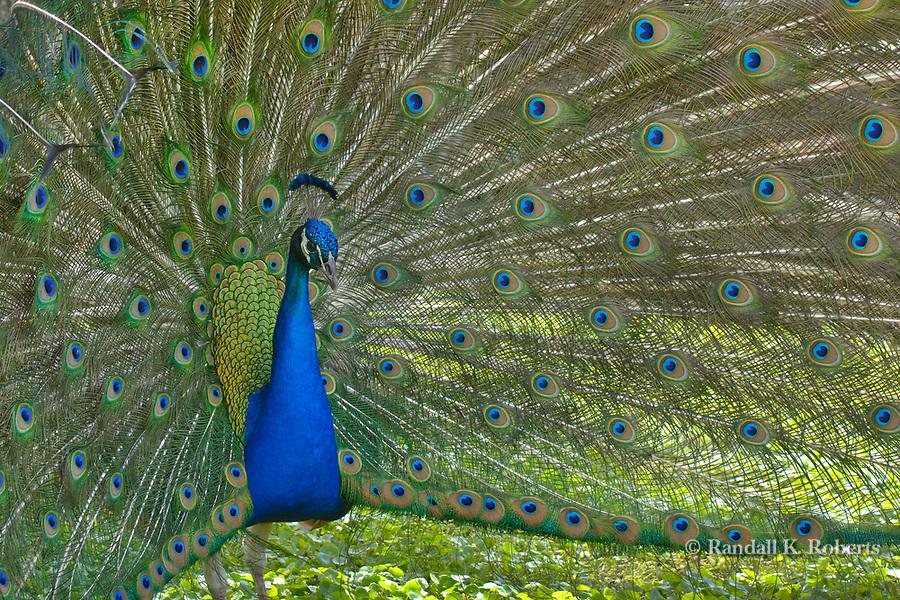 Peacock, Gatorland, Osceola County, Florida