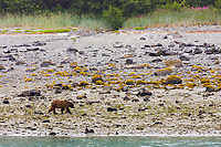 Brown Bear along the coast in Glacier Bay National Park, Alaska