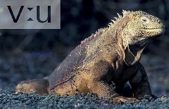 Land Iguana ,Conolophus subcristatus, Galapagos Island