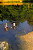 Two mallard ducks kick and paddle to keep their tails in the air while fishing or dancing