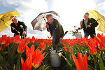 Foto: VidiPhoto<br /> <br /> NOORDWIJKERHOUT - Medewerkers van bollenkweker JUB uit Noordwijkerhout zijn donderdag druk met ziekzoeken in een tulpenperceel. Zo worden tulpen met een virusziekte met bol en al uit de grond getrokken en vernietigd. Bij JUB gebeurt dat op traditionele wijze met de hand. Om de zieke tulpen te herkennen, wordt met een paraplu het felle zonlicht getemperd om afwijkingen beter te signaleren. Volgens kweker Rudolph Uittenbogaard is de virusdruk dit voorjaar zeer gering als gevolg van het droge en zonnige weer. Daardoor hoeven er ook aanzienlijk minder gewasbeschermingsmiddelen ingezet te worden. Vanaf volgende week worden de bloeiende tulpen gekopt. De bloemen worden dan machinaal verwijderd van de stelen om optimale bolgroei mogelijk te maken. Uittenbogaard verwacht rond half juni de eerste tulpenbollen te kunnen oogsten. De bollenvelden liggen er momenteel op en top bij. Tijdens de Paasvakantie worden er in de bollenstreek honderdduizenden toeristen verwacht.