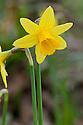 Daffodil (Narcissus 'Tete a Tete'), mid March.